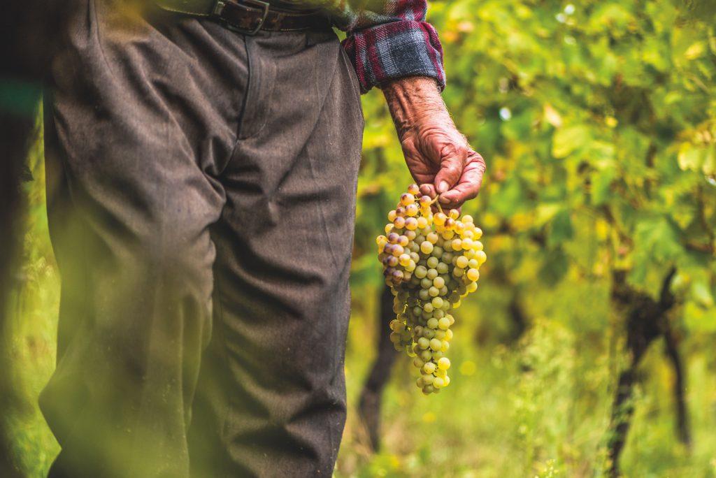 Uve italiane per il vino della cantina d'Italia