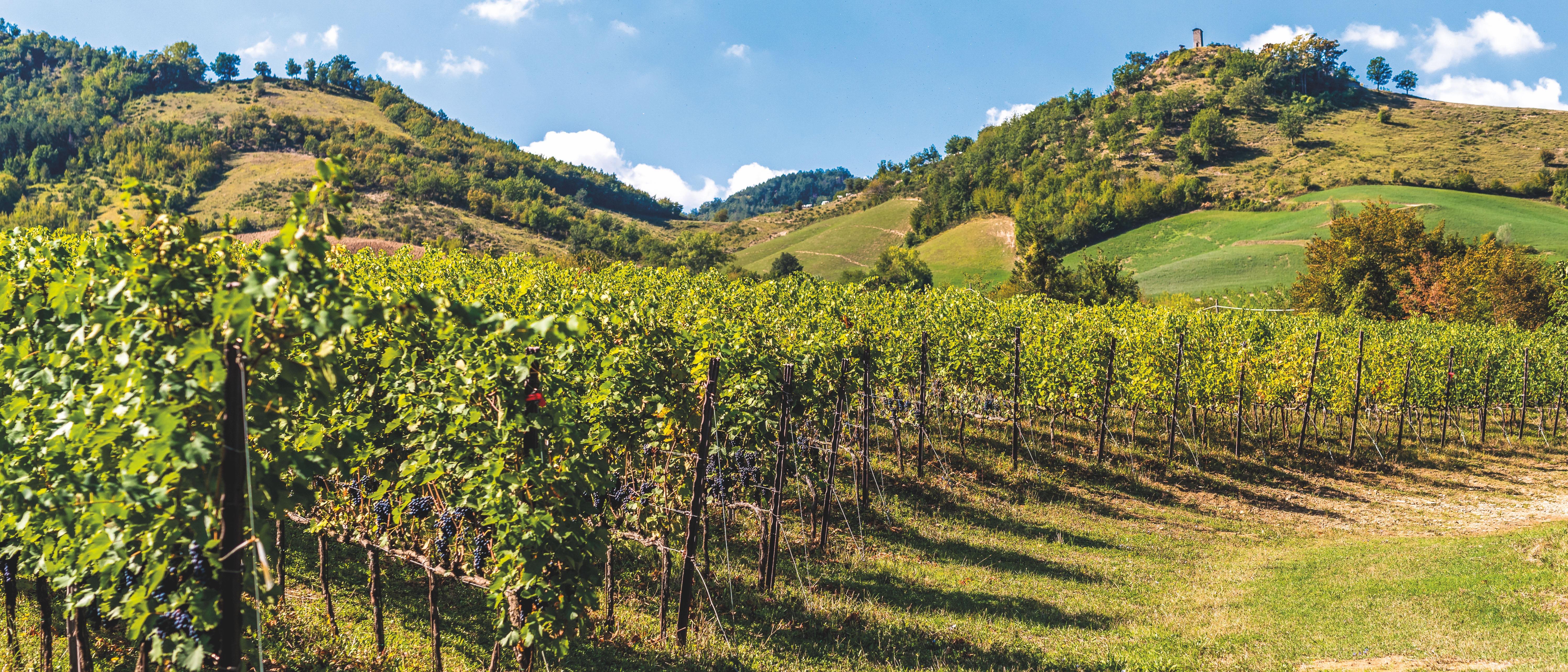 Vigneti e uve tra le colline del territorio per Caviro, la cantina d'Italia
